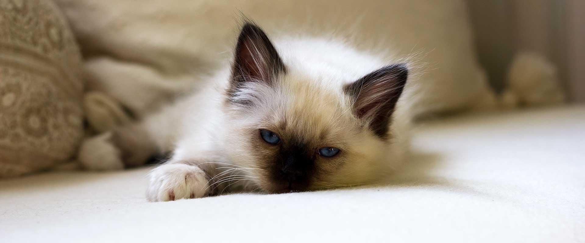 Kattungeförmedling